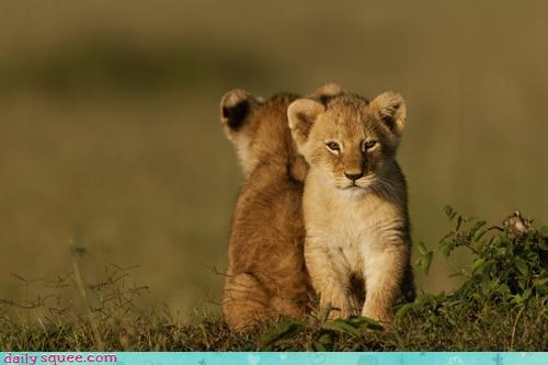 angle,Babies,baby,back to back,covered,cub,cubs,cuteness,every,lion,lions,pun