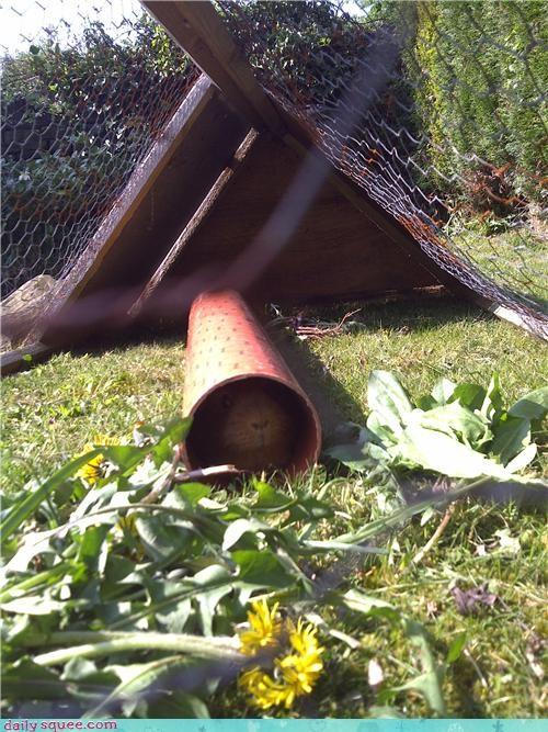 allergies dandelion dandelions Flower flowers guinea pig hiding reader squees safe sniffing tube - 4667018240