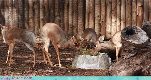 contest dik dik dik-diks drinking gossiping squee spree water water cooler winner - 4667884032