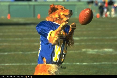 field,football,golden retriever,jersey,play,sports