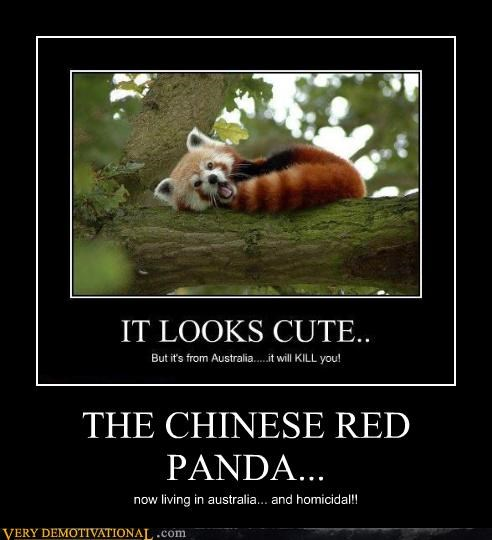 THE CHINESE RED PANDA... now living in australia... and homicidal!!