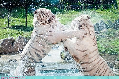 acting like animals,fighting,improvising,lacking,pool,pragmatism,splashing,thumbs,tiger,tigers,water,water fight