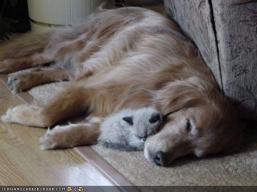 dogs goggies goggies r owr friends Interspecies Love nap napping nook sleeping warm - 4671344384