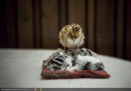 asleep chick chicken chicks cyoot kitteh of teh day Interspecies Love on top