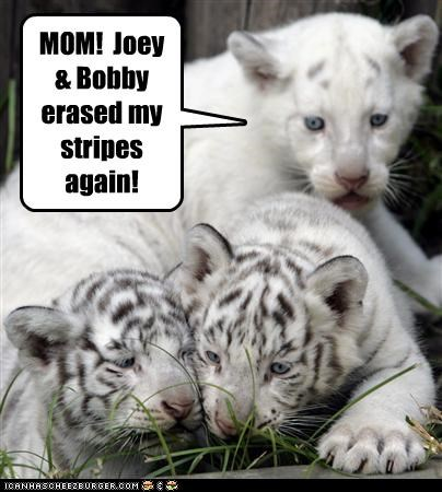 angry Babies baby caption captioned cub cubs do not want erased siblings stripes tiger tigers unhappy upset - 4673976576