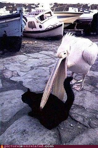 Pelican eating a cat
