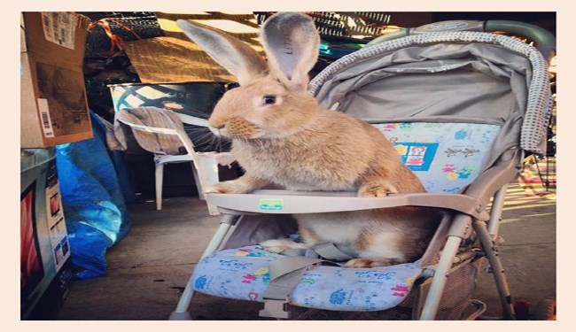 flemish rabbit funny rabbits - 4674565