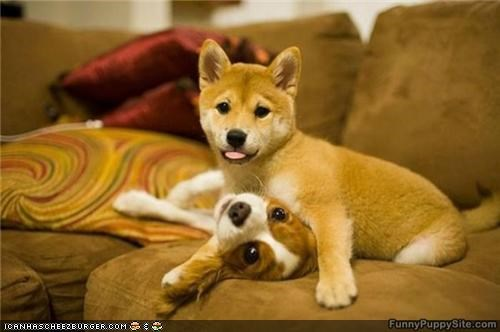 couch cyoot puppeh ob teh day kisses love romance shiba inu spaniel - 4675921408