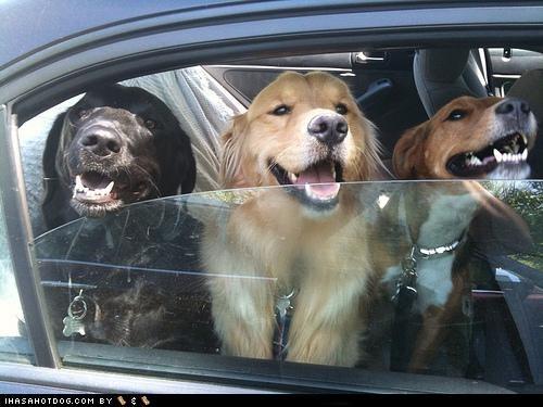 Black Lab car golden retriever labrador smiles whatbreed window - 4675948032