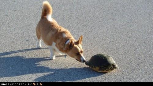 cement,corgi,sniff,street,turtle