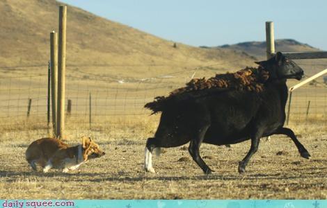 acting like animals comeback corgi dogs herd herding insult proof running sheep worth - 4676549632