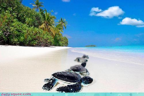 baby beach impatient lined up ocean queue sea turtle sea turtles start tide turtle turtles waiting wave wave pool waves - 4676615680