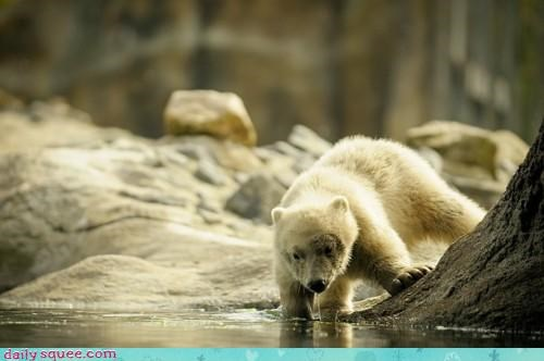 afraid baby bear coaxing come out cub Okay peeking permission polar bear question timid - 4676628992