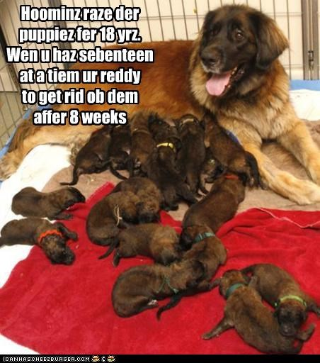 18,8,after,getting rid,humans,puppies,puppy,raise,raising,ready,rid,seventeen,tibetan mastiff,weeks,years