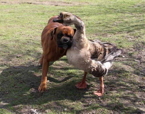 doggeh gooseh interspecies interminglin - 4679036160