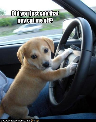 car,cut off,did,driver,driving,guy,puppy,question,see,steering wheel,upset,whatbreed,you
