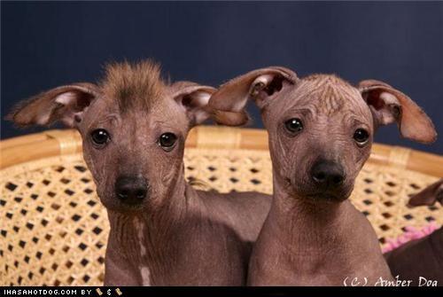 afghan goggie ob teh week lhasa apso mexican hairless poll vizsla - 4679577344