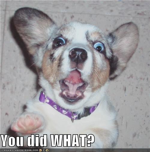 corgi did puppy shocked what you - 4679869952