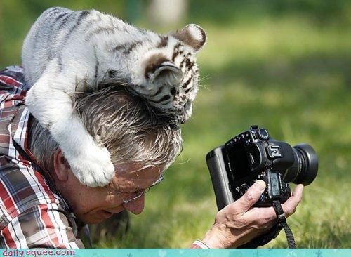 acting like animals baby camera checking cub demanding egotistical good side let me see Photo question self conscious tiger - 4680088576
