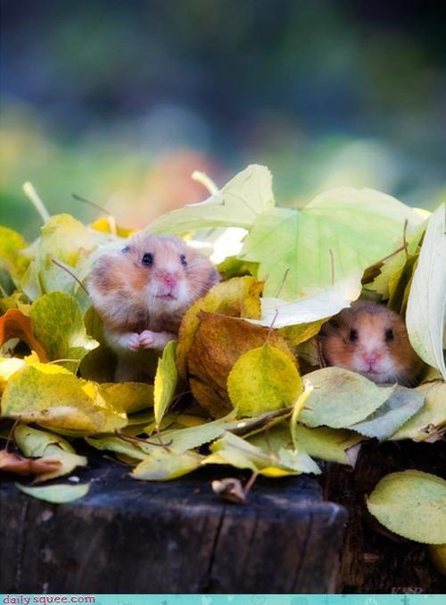 coaxing hamster hamsters hidden hiding noms question - 4680213760