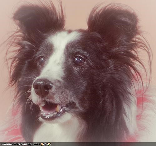 border collie cyoot puppeh ob teh day mixed breed puppy soft focus - 4682970624