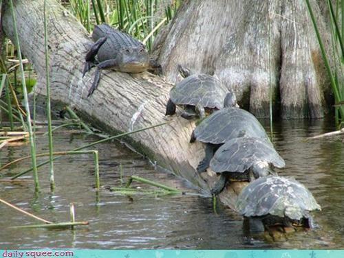 acting like animals bad idea chicken competition crocodile game Turf turf war turtle turtles war - 4683844352