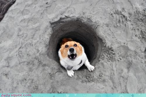 acting like animals,afraid,beach,corgi,digging,discovered,discovery,dogs,egrets,forever,non sequitur,sand,tunnel,wide eyed