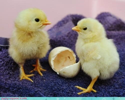baby chick chicken chickens chicks egg hatched IRL live peeps real - 4683966976