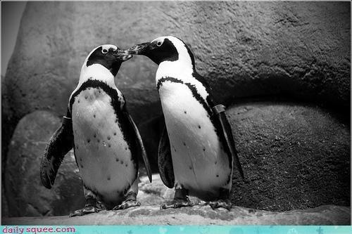 beak beaks kissing love oh my squee peck penguin penguins sweet - 4683991296
