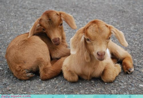 Babies baby calf calfs effortless goat goats grace itty bitty natural poise squee squeeness tiny