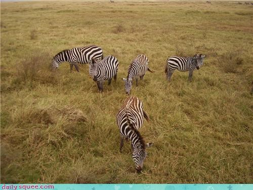 almost,Babies,baby,five,row,squee spree,standing,winner,zebra,zebras