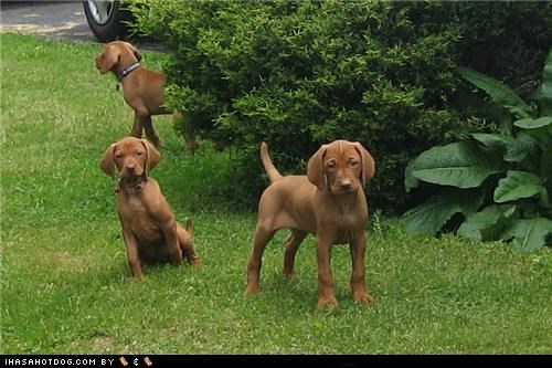 goggie ob teh week,grass,outside,puppies,three,tree,vizsla