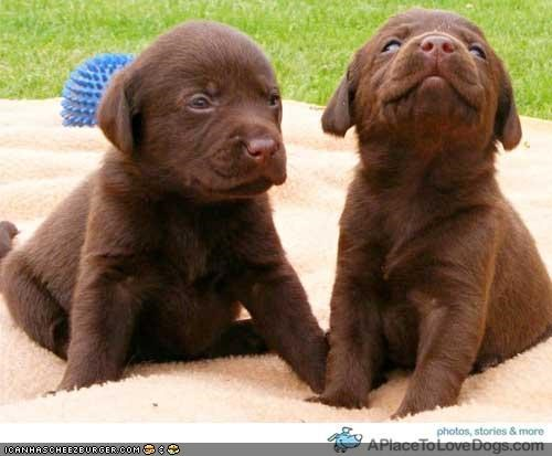 blanket,chocolate lab,grass,pair,puppies