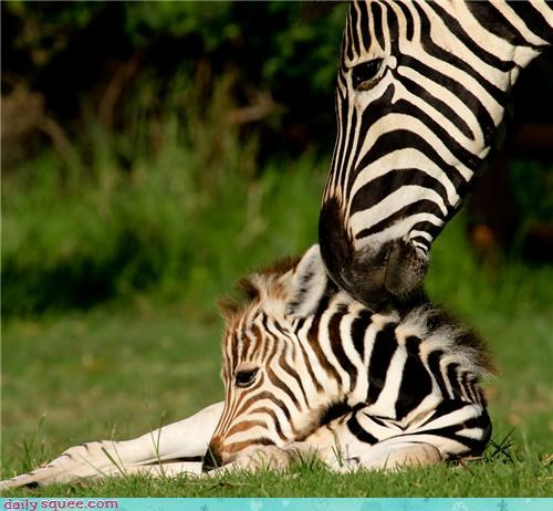 baby,better,boo boo,fixed it,kissing,mother,squee spree,zebra,zebras
