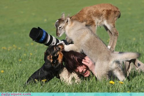 acting like animals,assistance,assisting,Babies,baby,calf,camera,cub,cubs,dogs,goat,helping,misinterpretation,photograph,tripod,wolf