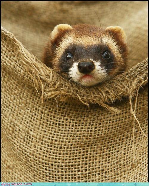 disguise doing it right facade ferret firefox pretending red panda - 4693979392