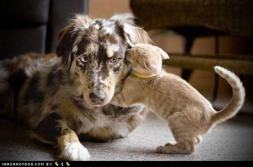 australian shepherd,border collie,cat,kittehs r owr friends,kitty,marmalade,mixed breed,secret,whisper