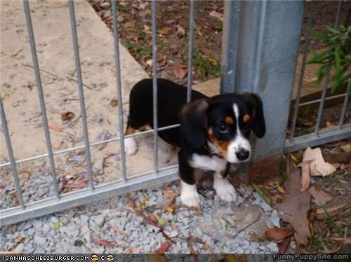 beagle,cyoot puppeh ob teh day,fance,puppy,stuck