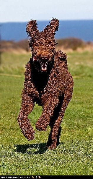 brown chocolate curly field grass happy poodle run standard poodle