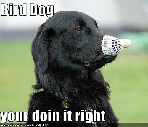 badminton bird birdie dogs doing it right labrador - 4700631296