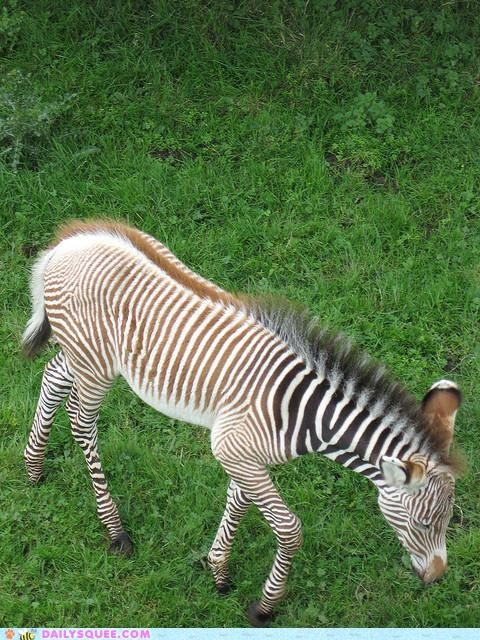 baby,color,cuteness,even,lopsided,perfect,squee spree,stripes,tan,zebra