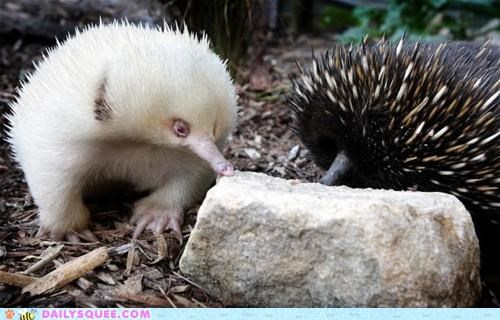 adorable albino amazing best ever echidna favorite squeep - 4701428224
