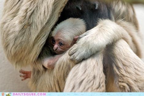 baby bed breakfast carried carrying jealous monkey monkeys mother sleepy table tired - 4701474048