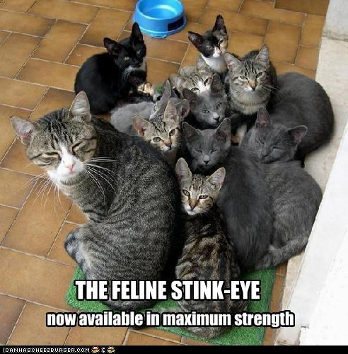 available caption captioned cat Cats feline max maximum now stink eye strength - 4702492672