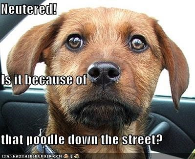 Neutered! Is it because of that poodle down the street?