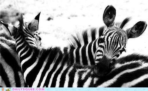 Babies baby black and white conclusion end farewell finale snuggling squee spree striped stripes zebra zebras - 4704702464
