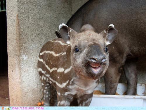 Babies baby capybara capybaras contest poll squee spree tapir tapirs - 4704723200