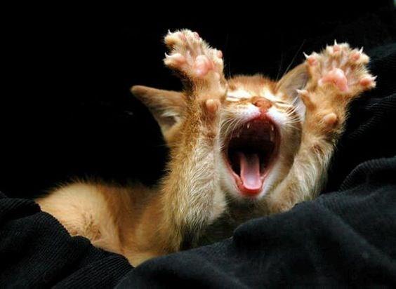 kitten roaring cute funny - 4706309