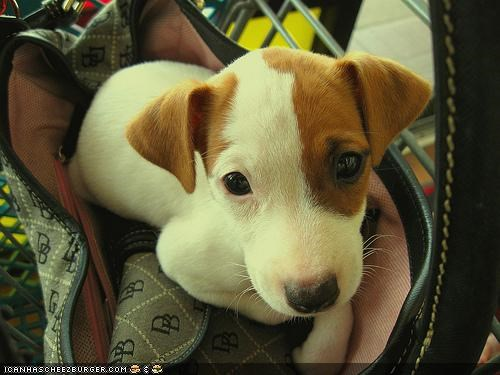 cytto puppeh ob teh day,jack russel terrier,orange,purse,tiny,white