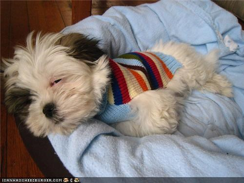 bed,cyoot puppeh ob teh day,nap,sleepy,stripes,sweater,yorkie
